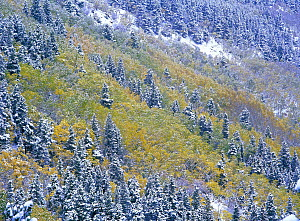 Aspen and Spruce trees dusted with snow, Rocky Mountain National Park, Colorado - Tim Fitzharris