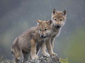 Gray Wolf (Canis lupus) pups in light snowfall, North America  -  Tim Fitzharris