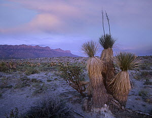 Yucca and cacti in the desert, Guadalupe Mountains National Park, Texas  -  Tim Fitzharris