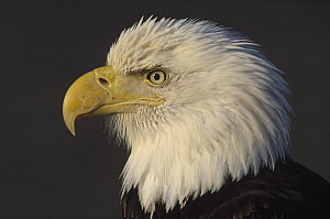 Bald Eagle (Haliaeetus leucocephalus) adult portrait, North America  -  Thomas Mangelsen
