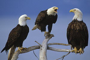 Bald Eagle (Haliaeetus leucocephalus) adults on snags, North America  -  Thomas Mangelsen
