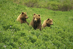 Grizzly Bear (Ursus arctos horribilis) mother and two cubs, McNeil River Sanctuary, Alaska  -  Thomas Mangelsen