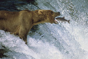 Grizzly Bear (Ursus arctos horribilis) catching spawning Sockeye Salmon (Oncorhynchus nerka), Brooks River Falls, Katmai National Park, Alaska  -  Thomas Mangelsen