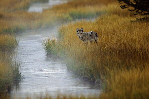 Coyote (Canis latrans) standing in grass along stream, Yellowstone National Park, Wyoming  -  Thomas Mangelsen
