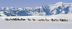Elk (Cervus elaphus) herd of males in snow, National Elk Refuge, Wyoming  -  Thomas Mangelsen