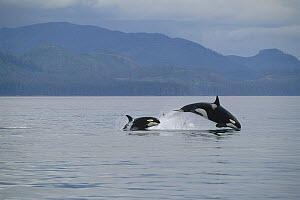 Orca (Orcinus orca) mother and young leaping through water, Frederick Sound, Alaska  -  Thomas Mangelsen