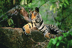 Bengal Tiger (Panthera tigris tigris) resting on log, Bandhavgarh National Park, Madhya Pradesh, India  -  Thomas Mangelsen