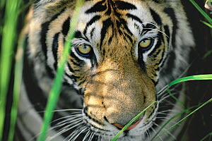 Bengal Tiger (Panthera tigris tigris) close up of eyes, India  -  Thomas Mangelsen