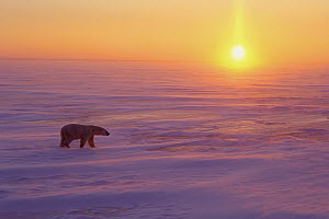 Polar Bear (Ursus maritimus) walking on ice at sunset, Churchill, Manitoba, Canada  -  Thomas Mangelsen