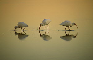 White Ibis (Eudocimus albus) trio feeding at sunset, Ding Darling National Wildlife Refuge, Sanibel Island, Florida  -  Thomas Mangelsen