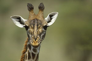 Giraffe (Giraffa sp) close up of head, Africa  -  Thomas Mangelsen