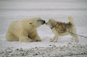 Polar Bear (Ursus maritimus) investigating chained sled dog, Churchill, Manitoba, Canada  -  Thomas Mangelsen