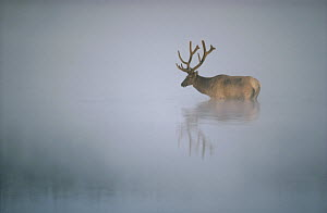 Elk (Cervus elaphus) in misty waters, Yellowstone National Park, Wyoming  -  Thomas Mangelsen