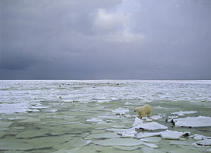 Polar Bear (Ursus maritimus) male on broken ice, Wapusk National Park, Manitoba, Canada  -  Thomas Mangelsen