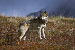 Gray Wolf (Canis lupus) surveying the tundra, Denali National Park, Alaska  -  Thomas Mangelsen