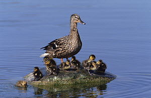 Mallard (Anas platyrhynchos) duck, with chicks standing on a rock in the middle, of a lake, Germany  -  Konrad Wothe