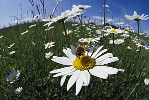 Hoverfly collecting nectar in a field of Marguerites (Leucanthemum vulgare), Germany - Konrad Wothe