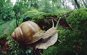 Edible Snail (Helix pomatia) crossing moss on floor of deciduous forest, Germany  -  Konrad Wothe
