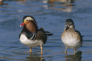 Mandarin Duck (Aix galericulata) male and female standing in water, China  -  Konrad Wothe
