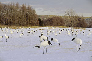 Red-crowned Crane (Grus japonensis) flock feeding in snow, Tsurui Ito Sanctuary, Japan - Konrad Wothe