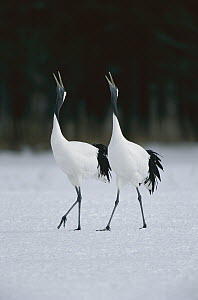 Red-crowned Crane (Grus japonensis) pair calling during courtship dance at their wintering grounds, Hokkaido, Japan  -  Konrad Wothe