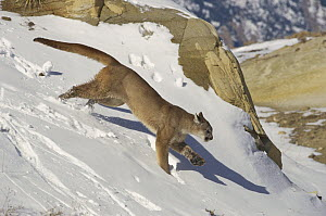 Mountain Lion (Puma concolor) running over snow-covered ground, North America  -  Konrad Wothe