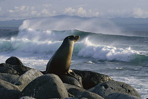 Galapagos Sea Lion (Zalophus wollebaeki) on rock with ocean waves in background, Galapagos Islands, Ecuador - Konrad Wothe