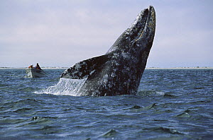 Gray Whale (Eschrichtius robustus) breaching while tourists watch, Mexico  -  Konrad Wothe