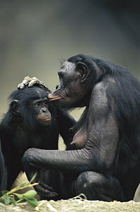 Bonobo (Pan paniscus) mother and baby interacting, native to Africa  -  Konrad Wothe