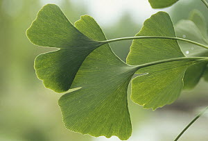 Ginkgo (Ginkgo biloba) close up of leaves, medicinal plant, Germany - Konrad Wothe