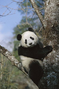 Giant Panda (Ailuropoda melanoleuca) in tree, Wolong Valley, Himalaya, China  -  Konrad Wothe