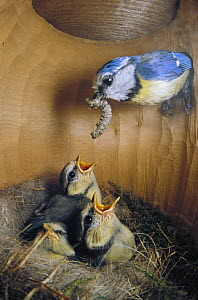 Blue Tit (Cyanistes caeruleus) parent delivering caterpillar to chicks in nest, Europe - Konrad Wothe