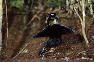 Western Parotia (Parotia sefilata) male in courtship display, Arfak Mountains, Irian Jaya, New Guinea, Indonesia  -  Konrad Wothe