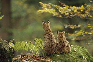 Eurasian Lynx (Lynx lynx) pair sitting together in woods, back view, Bayerischer Wald National Park, Germany  -  Konrad Wothe