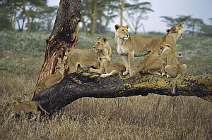 African Lion (Panthera leo) family of adult females and cubs on fallen tree, Serengeti, Tanzania - Konrad Wothe