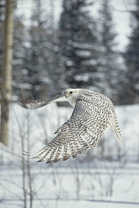 Gyrfalcon (Falco rusticolus) adult female in white phase flying, North America  -  Konrad Wothe