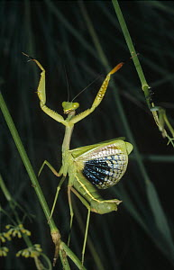 Mediterranean Mantis (Iris oratoria) female in defensive display, Spain  -  Konrad Wothe