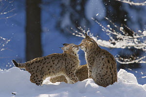 Eurasian Lynx (Lynx lynx) pair touching noses in snow, Bayerischer Wald National Park, Germany  -  Konrad Wothe