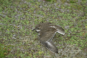 Double-banded Plover (Charadrius bicinctus) using broken wing display to lure predators away from nest, Enderby Island, New Zealand  -  Konrad Wothe