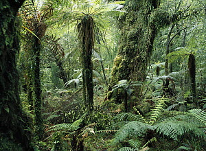 Tree Fern (Dicksonia antarctica) group in rainforest, Monro Walk, west coast, South Island, New Zealand - Konrad Wothe