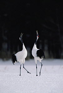 Red-crowned Crane (Grus japonensis) couple in courtship display, Hokkaido, Japan  -  Konrad Wothe