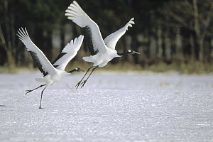 Red-crowned Crane (Grus japonensis) pair calling and jumping during courtship, Hokkaido, Japan  -  Konrad Wothe