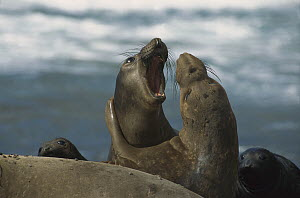 Northern Elephant Seal (Mirounga angustirostris) juvenile males play fighting, North America - Konrad Wothe