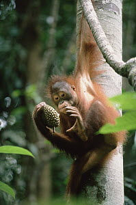 Orangutan (Pongo pygmaeus) hanging from tree with durian, Borneo  -  Konrad Wothe