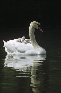 Mute Swan (Cygnus olor) with three chicks riding on her back, Germany  -  Konrad Wothe