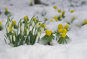 Snowdrop (Galanthus nivalis) flowers blooming in snow, Germany - Konrad Wothe