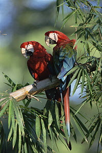 Red and Green Macaw (Ara chloroptera) pair, Pantanal, Brazil  -  Konrad Wothe