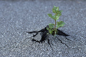 Tree sapling breaking through asphalt, Pantanal, Brazil - Konrad Wothe
