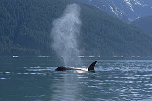 Orca (Orcinus orca) female surfacing and spouting beside conifer-covered coastline, Inside Passage, Alaska - Konrad Wothe