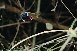 Blue-backed Manakin (Chiroxiphia pareola) adult and immature male dancing, Tobago, West Indies  -  Konrad Wothe